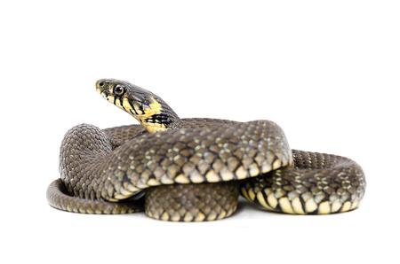 serpiente de cascabel: Serpiente, que yacía en espiral, aislado en fondo blanco