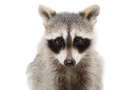 raccoon: Portrait of a raccoon closeup isolated on white background Stock Photo