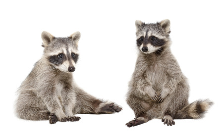 Two raccoon sitting together isolated on white background Stock Photo