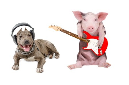 two animals: Pit bull in the headphones and a pig plays guitar, isolated on white background