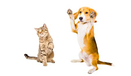 frisky: Frisky Beagle dog and cat Scottish Straight isolated on white background