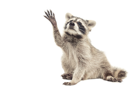 Raccoon sitting with paw raised up, isolated on white background Фото со стока