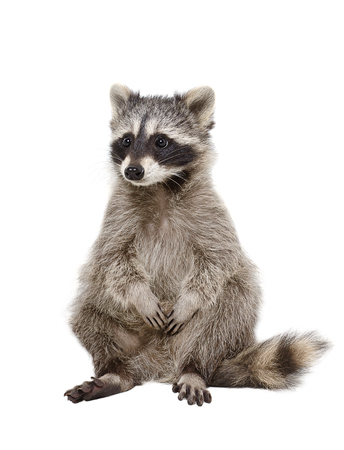 Adorable raccoon sitting isolated on white background Stockfoto
