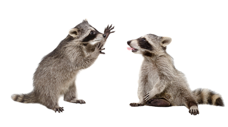 Two funny raccoon playing together isolated on white background