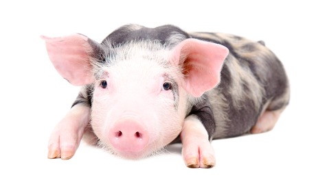 Portrait of the little pig lying isolated on white background Stock Photo