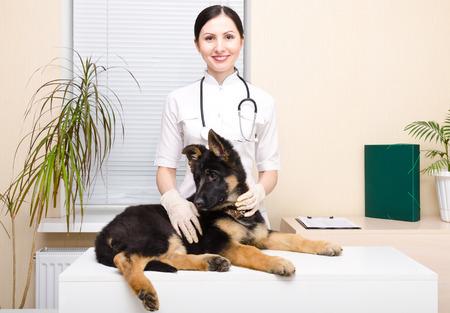 shepherd: German shepherd puppy at the veterinarian Stock Photo