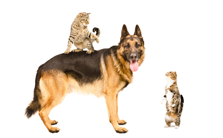 cats playing: German shepherd and two cats playing together isolated on white background Stock Photo