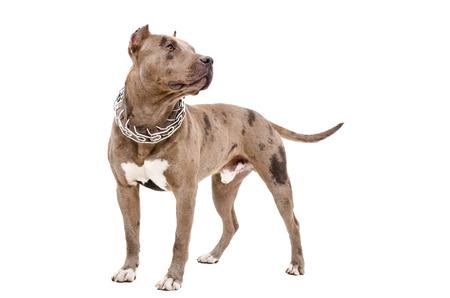 perro furioso: perro de raza pit bull pie aislado en fondo blanco
