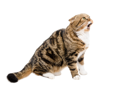 meowing: Meowing a cat Scottish Fold sitting isolated on white background