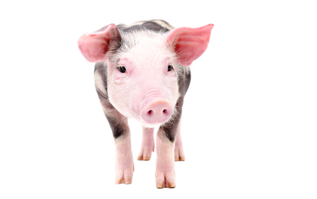 Cute little pig standing isolated on a white background Imagens