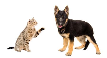 scottish straight: Playful cat Scottish Straight and puppy German Shepherd isolated on white background