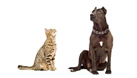 perro asustado: Gato recto escoc�s y Staffordshire Terrier junto aislados sobre fondo blanco