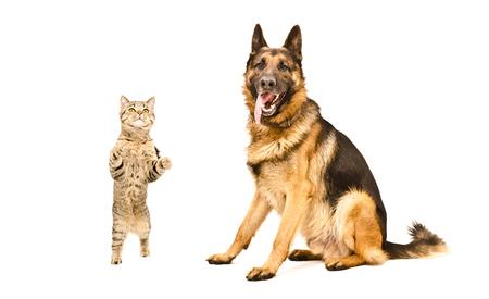 frisky: German Shepherd and frisky cat Scottish Straight, isolated on white background