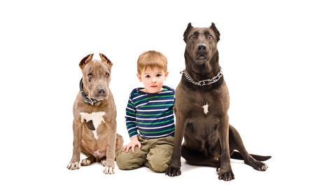 black and white pit bull: Cute boy and two pit bulls sitting together isolated on white background Stock Photo