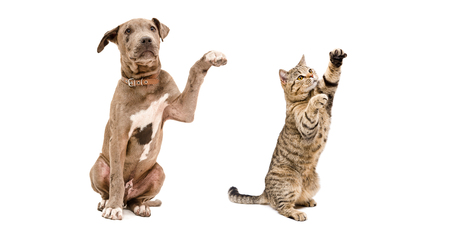 scottish straight: Playful puppy pit bull and cat Scottish Straight isolated on white background Stock Photo