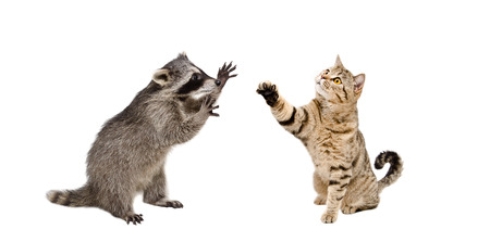 scottish straight: Funny raccoon and playing cat Scottish Straight isolated on white background