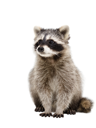 Portrait of adorable raccoon isolated on white background Фото со стока