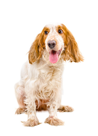 hunting cocker spaniel: Portrait of funny Russian Spaniel isolated on a white background Stock Photo