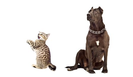 scottish straight: Staffordshire Terrier and funny kitten Scottish Straight isolated on a white background Stock Photo