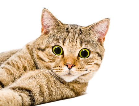 Portrait of a cat Scottish Straight to the surprised eyes lying isolated on a white background