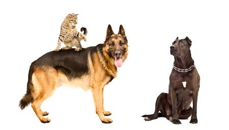 perro asustado: Perros y un gato juguet�n, aislado en un fondo blanco Foto de archivo