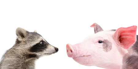 closeup cow face: Portrait of a funny raccoon and pig sniffing each other, closeup, isolated on a white background