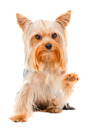 Portrait of Yorkshire terrier sitting with a raised paw, isolated on white background