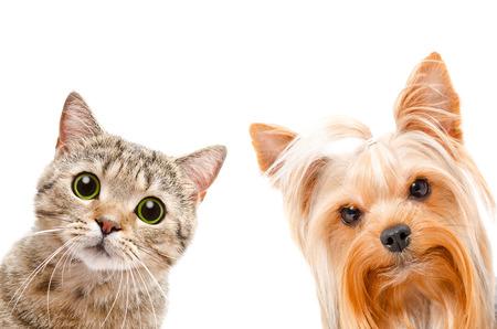 흰색 배경에 고양이 스코틀랜드 스트레이트와 요크셔 테리어, 근접 촬영의 초상화, 격리 스톡 콘텐츠