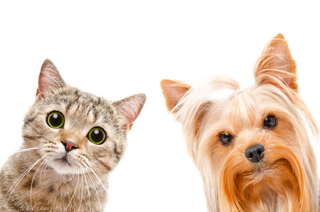 Portrait of a cat Scottish Straight and Yorkshire terrier, closeup, isolated on a white background 版權商用圖片 - 50717354