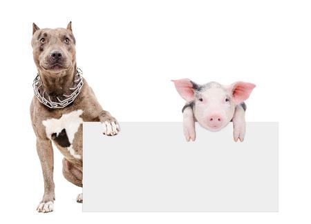 Pit bull e porcellino seduta con un banner, isolato su sfondo bianco