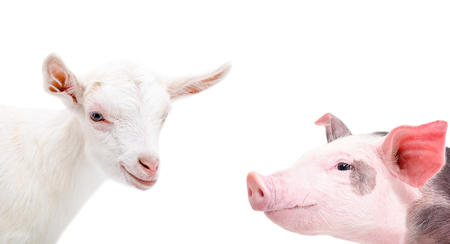 animales de granja: Retrato de una cabra y cerdo, de cerca, aislado en el fondo blanco