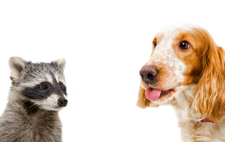 hunting cocker spaniel: Portrait of a raccoon and Russian spaniel, closeup, isolated on white background