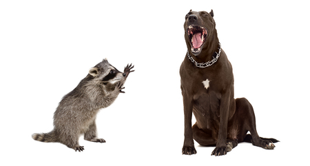 pit bull: Playful raccoon and yawning pit bull, isolated on white background Stock Photo