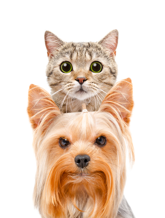 Funny portrait of a cat Scottish Straight and Yorkshire terrier, isolated on white background Stockfoto