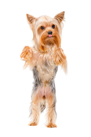 hind: Yorkshire terrier standing on his hind legs isolated on white background