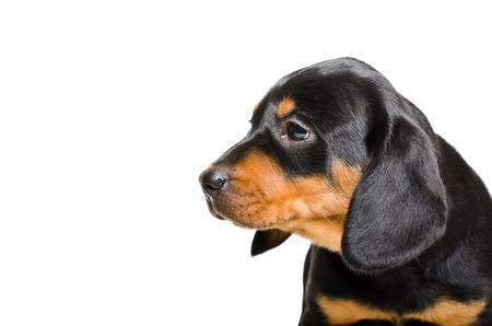 hunter playful: Portrait of puppy Slovakian Hund isolated on white background Stock Photo