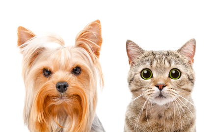 Portrait of a Yorkshire terrier and cat Scottish Straight on a white background Stock Photo