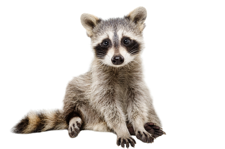 Funny raccoon sitting isolated on white background