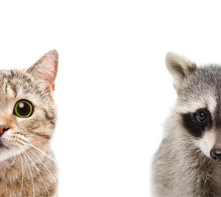 Portrait of a raccoon and cat, close up, isolated on white background