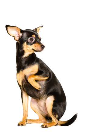 toyterrier: Russian toy terrier sitting isolated on white background Stock Photo