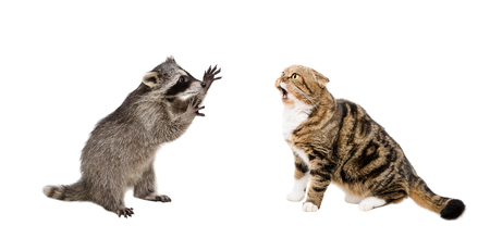 meowing: Meowing cat Scottish Fold and raccoon isolated on white background