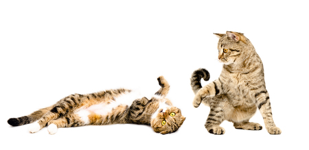 scottish straight: Two cats playing together isolated on white background Stock Photo
