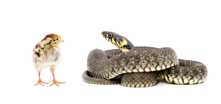 cold blooded: Snake and chicken quail isolated on white background