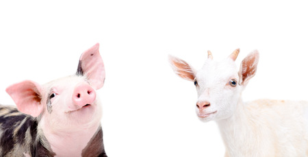 yeanling: Portrait of funny piglet and goat isolated on white background Stock Photo