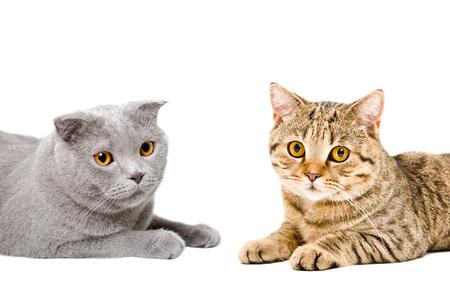 scottish straight: Portrait of cats Scottish Fold and Scottish Straight isolated on white background