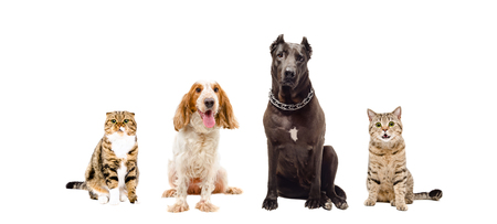 black and white pit bull: Group of cats and dogs sitting together isolated on white background