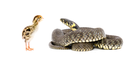 the fittest: Snake and chicken quail together isolated on white background