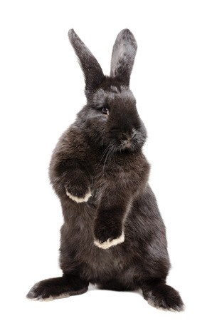 rabbit standing: Portrait of a funny black rabbit standing on his hind legs  isolated on white batskground