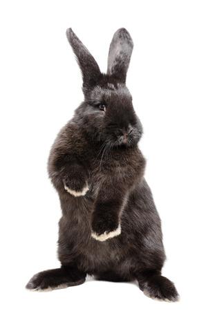 Retrato de un pie de conejo negro divertido en sus patas traseras aislado en blanco batskground