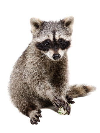 Funny raccoon playing rawhide bone isolated on white background